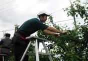 園芸課 りんごの摘花作業のようす